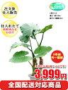 観葉植物 クワズイモ 8号【激安!おしゃれな大型観葉植物で3...