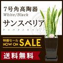 【送料無料】サンスベリア(7号/約85cm)角高陶器(白色/黒色)育て...