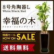 【送料無料】幸福の木 ドラセナ・マッサンゲアナ(8号/約1.4m)角陶器L(白色・黒色・赤色)人気のある育てやすい観葉植物【送料込/大型/インテリア/鉢/おすすめ/安い/おしゃれ/激安/ギフト】