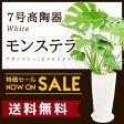 【送料無料】モンステラ(7号/約80cm)モンテスラ丸高陶器(白色)人気のある育てやすい観葉植物【送料込/大型/インテリア/鉢/おすすめ/安い/おしゃれ/激安/ギフト】