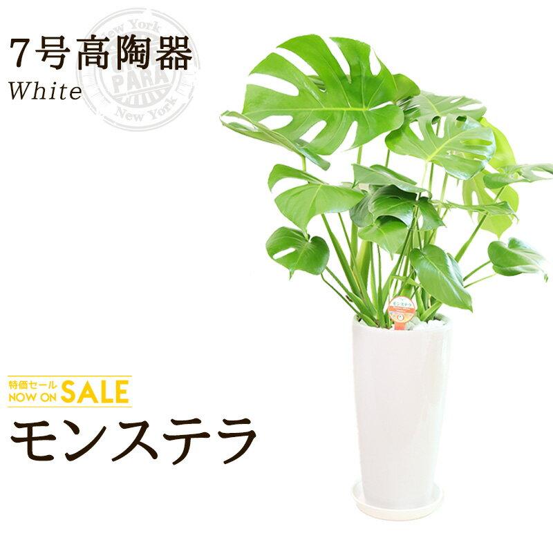 【送料無料】モンステラ(7号/約80cm)モンステラ丸高陶器(白色)人気のある育てやすい観葉植物【送料込/大型/インテリア/鉢/おすすめ/安い/おしゃれ/激安/ギフト】