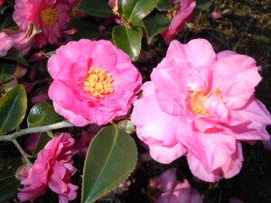 冬に咲く花。丈夫で育てやすい人気品種!!寄せ植えやグランドカバーに大人気!冬の花!【カン...