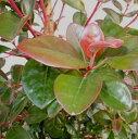 グリーンPEACEで買える「送料無料 150cm シンボルツリー 庭木 鉢植え【ロドレイア 樹高1.5m前後】」の画像です。価格は13,200円になります。