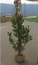 月桂樹【ローリエ】樹高1.2m前後