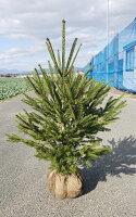 クリスマスツリー 80cm シンボルツリー【ドイツトウヒ 樹高0.8m前後】