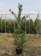 金宝樹(ブラシノキ)樹高1.0m前後
