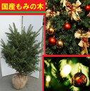 送料無料 150cm クリスマスツリー 本物 国産 もみの木  シンボルツリー【モミノキ(ウラジロモミノキ) 樹高1.5m前後】