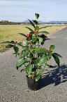 30cm シンボルツリー 庭木 切り花【センリョウ(千両)赤 樹高0.3m前後】