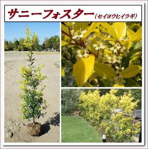 春の新芽が黄金色のあかるいヒイラギ!鮮やかなカラーリーフで生垣におすすめ!【サニーフォス...