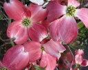 送料無料 120cm 赤 シンボルツリー 花水木【ハナミズキ(赤花) 樹高1.2m前後】