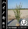 今、シンボルツリーに大人気の常緑樹!【ハイノキ 株立 樹高1.5m前後】