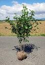 送料無料 150cm 人気果樹 収穫 シンボルツリー【ジューンベリー株立 樹高1.5m前後】