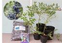 [暖地向ブルーベリー入門すべて揃ってます]ティフブルー+パウダーブルー2品種ブルーベリー苗木栽培6点セット[挿し木3年生苗直径13.5cmポット樹高約50cm前