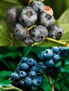 チャンドラー&ブルークロップ世界最大ハイブッシュブルーベリー苗木栽培6点セット[挿し木3年生苗13.5cmポット樹高約50cm]+栽培に必要なセットすべて揃って