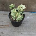 多肉植物属ポーチュラカリア属 アフラヴァリエガータプロストレータフォーム 2.5 号
