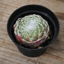 多肉植物センペルビウム属 アラクノイデウム ケベンセ 2.5 号