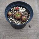 多肉植物 センペルビウム属 バーンスタイン Bernstein 2.5号