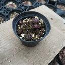 多肉植物 ジョビバルバ属 ヒルタオービスク2 hirta f/Col D'Aubisque 2.5号