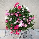 (送料無料) ウェルカムローズ ミニ薔薇の寄せ植え リース仕立て / ミニバラ・鉢植え・母の日・ギフト・プレゼント