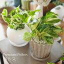 一部地域送料無料 2種類から選べる プレミアムポトス 4号 / 観葉植物 おしゃれ インテリア 卓上 エンジョイ グローバルグリーン 陶器鉢 プレゼント