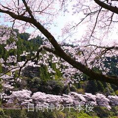 日向神の千本桜