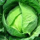 キャベツ 1玉【お取り寄せ野菜 単品 日本産 国内産 国産 長野 群馬 和歌山 1個 】