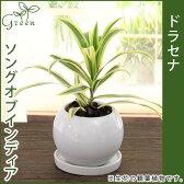 ドラセナレフレクサソングオブインディア陶器鉢(鉢皿付)高さ23cm〜30cm観葉植物(生花)
