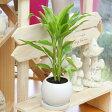 観葉植物(生花)ドラセナ サンデリアーナ陶器鉢(鉢皿付)高さ30cm〜40cm