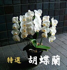 誕生日 敬老の日 開店祝い 胡蝶蘭 中輪 白 3本立ち〜5本立ち
