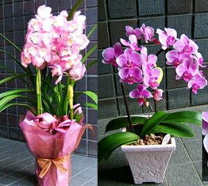 誕生日 敬老の日 開店祝い 誕生日 敬老の日 開店祝い 胡蝶蘭に並んで人気のおまかせ旬の洋ラン ピンク系