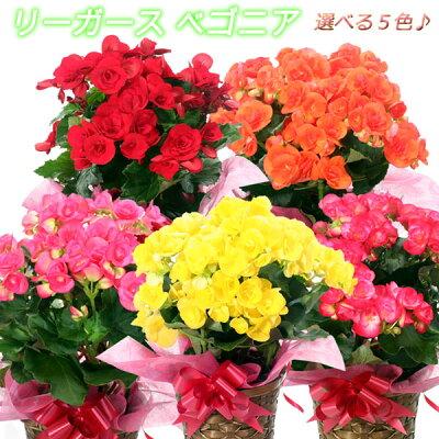 リーガースベゴニア(リーガスベゴニア)5号鉢(オレンジ・薄ピンク・赤・イエロー・ピンク)☆誕生日・就職祝い・入学祝い。母の日ギフト等に♪【送料無料】【楽ギフ_メッセ入力】