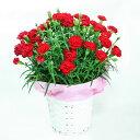カーネーション赤(レッド)5号鉢【送料無料】産地直送☆母の日ギフト・誕生日プレゼント・各種お祝いに♪