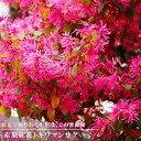 赤葉紅花トキワマンサクH0.2m ポット苗 生垣 目隠し グランドカバー 低木 庭木 常緑樹
