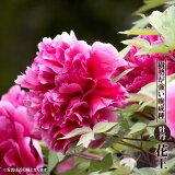 【花王】 (赤紫色) 牡丹 2年生 6号スリット苗