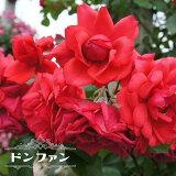 【バラ苗】 ドンファン つるバラ トゲが少ない 四季咲き 赤色 強健 バラ 苗 つるばら 薔薇 np