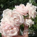 RoomClip商品情報 - 【バラ苗】 ニュードーン 大苗 つるバラ ピンク バラ 苗 つるばら 薔薇 np