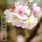 桜 苗木 さくら 冬に咲く桜 十月桜 (じゅうがつざくら) 1年生 接ぎ木 苗 庭木 落葉樹 シンボルツリーサクラ