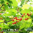 さくらんぼ 【 ナポレオン 】 1年生 接ぎ木 苗 【予約販売12月頃入荷予定】