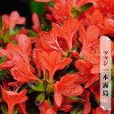 ツツジ 本霧島 (本キリシマ) 4号ポット苗木
