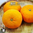 みかん 苗木 麗紅 ( れいこう ) オレンジ 2年生接木 ポット苗 ■限定販売■
