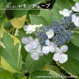 【ハナヒロバリュー】 アジサイ レモンウェーブ 3.5号ポット苗