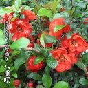 【ハナヒロバリュー】 クサボケ 八重咲 3.5号ポット苗
