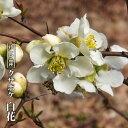 【ハナヒロバリュー】 クサボケ 白花 3.5号ポット苗