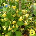 コツクバネウツギ 黄花 3.5号ポット苗 【ハナヒロバリュー