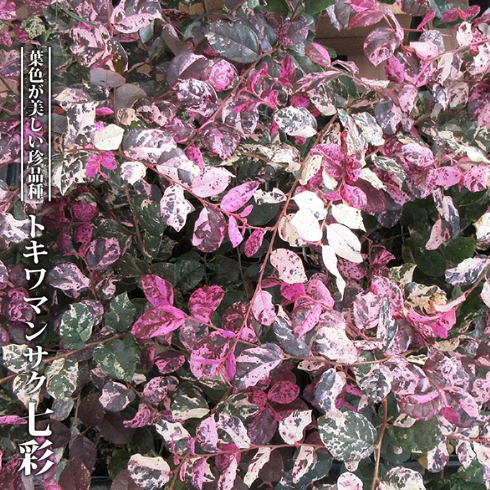トキワマンサク 【七彩】 3.5号ポット苗 【ハナヒロバリュー】