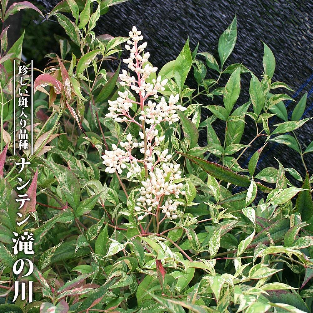 【ハナヒロバリュー】 ナンテン 滝の川 3.5号ポット苗