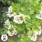 【ハナヒロバリュー】 ミツバウツギ 白斑 3.5号ポット苗
