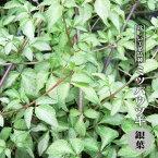 【ハナヒロバリュー】 ミツバウツギ 銀葉 3.5号ポット苗