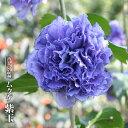 【ハナヒロバリュー】 ムクゲ 紫玉 3.5号ポット苗