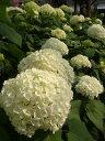 庭造りに欠かせないおすすめ夏の花あじさい 苗 アナベル ( アメリカノリノキ ) 4号ポット苗 ...